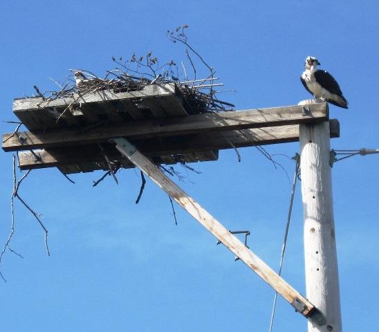 Osprey « Falmouth Bed & Breakfast Association