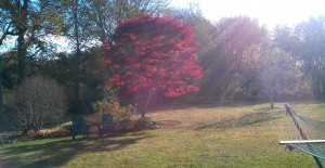 Japanese red maple soaks in the sun